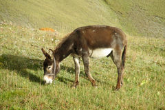 Brown domestic donkey eats grass Royalty Free Stock Photography