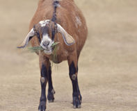 Brown Domestic Goat Royalty Free Stock Photo