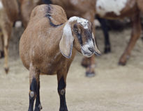 Brown Domestic Goat Royalty Free Stock Photography