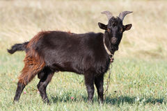 Brown domestic goat poses Royalty Free Stock Photo