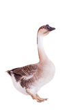 Brown domestic goose on white Stock Image