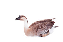 Brown domestic goose on white Royalty Free Stock Photos