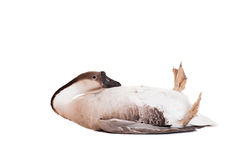 Brown domestic goose on white Royalty Free Stock Photo