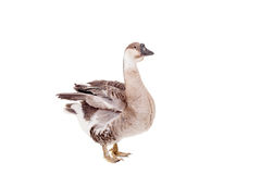 Brown domestic goose on white Stock Photos