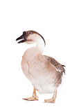 Brown domestic goose on white Stock Photography