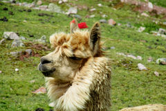 Brown domestic lama portrait. The llama, Lama glama domesticated South American camelid animals on the green meadow in the Andes mountain valley Royalty Free Stock Image
