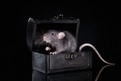 Brown  domestic rat on a black background Royalty Free Stock Photos