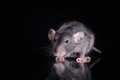 Brown  domestic rat on a black background Stock Photography