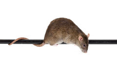Brown domestic rat. On black pole, isolated Royalty Free Stock Photos