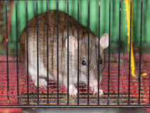 Brown domestic rat Royalty Free Stock Photography