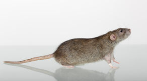 Brown domestic rat closeup. Brown domestic rat and its reflection on the glass Royalty Free Stock Photo