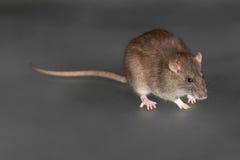 Brown domestic rat closeup Royalty Free Stock Image