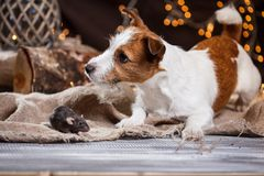 Brown domestic rat and dogs Jack Russell Terrier. Studio portrait of a brown domestic rat and dogs Stock Photo