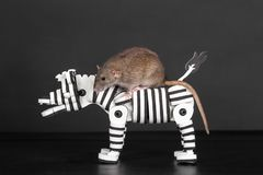 Brown rat on zebra. Brown domestic rat riding on toy zebra Royalty Free Stock Photos