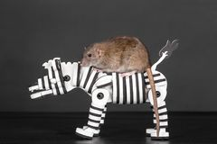 Brown rat on toy zebra. Brown domestic rat riding on toy zebra Stock Images