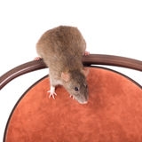 Brown domestic rat Royalty Free Stock Images