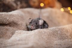 Brown  domestic rat Stock Photography