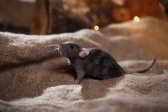 Brown  domestic rat Stock Image