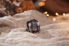 Brown  domestic rat Royalty Free Stock Photo