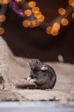 Brown  domestic rat Royalty Free Stock Photos