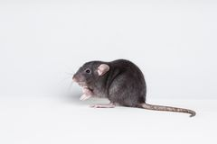 Brown  domestic rat Stock Photos