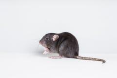 Brown  domestic rat Stock Photos