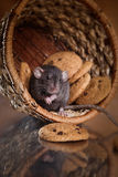 Brown  domestic rat Royalty Free Stock Photos