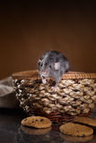 Brown  domestic rat. Studio portrait of a brown domestic rat Royalty Free Stock Image
