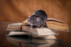 Brown  domestic rat. Studio portrait of a brown domestic rat Stock Photography