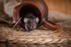 Brown  domestic rat. Studio portrait of a brown domestic rat Royalty Free Stock Images