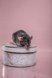 Brown domestic rat stock photo