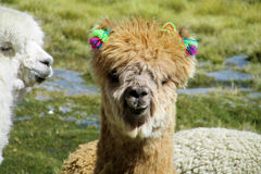 Brown domesticated llama portrait Royalty Free Stock Images