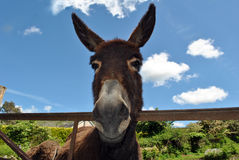 Brown donkey Stock Photography