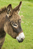Brown donkey Royalty Free Stock Images