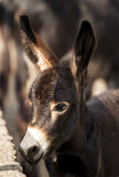 Brown donkey with big ears Stock Images