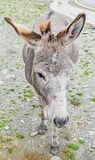 Brown donkey with colored ears, outdoor standing, portrait Stock Images