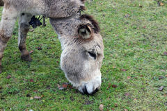Brown donkey eating Stock Image