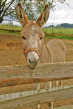 Brown donkey on the farm. Brown donkey behind a fence on the farm Stock Images