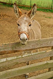 Brown donkey on the farm Stock Images