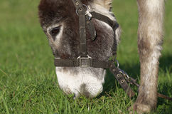 Brown donkey royalty free stock photography