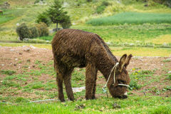 Brown donkey in the field Stock Photography