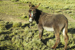 Brown donkey in the field Royalty Free Stock Photography