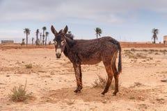 Brown donkey Royalty Free Stock Photos