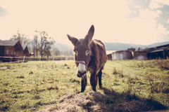 Brown Donkey on Green Grass Field during Datiime Stock Photography