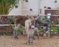 A brown donkey with a grey foal Royalty Free Stock Images