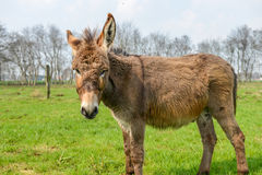 Brown donkey looking at you Royalty Free Stock Photo