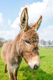 Brown donkey looking at you Stock Photography