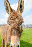 Brown donkey looking at you Royalty Free Stock Photography