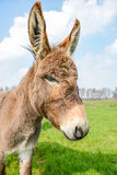 Brown donkey looking at you Stock Photo