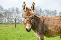 Brown donkey looking at you Stock Image